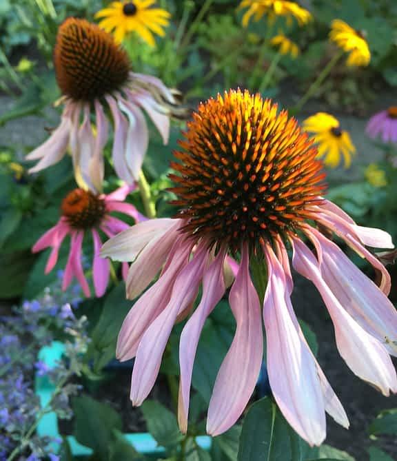 Angela Rider - Flowers echinacea